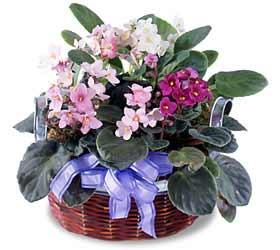 African violet flower delivery toronto