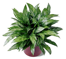 corporate flowers, sympathy flowers, plant, chinese evergreen