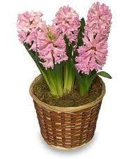 Hyacinth Bulb Planter