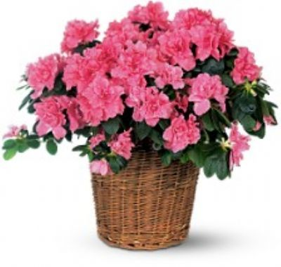 birthday flower ideas, azaleas, flowers for a birthday present