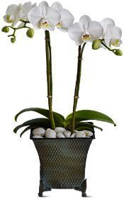 buy orchids in Toronto