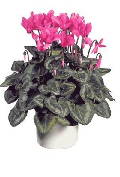cyclamen, plants GTA